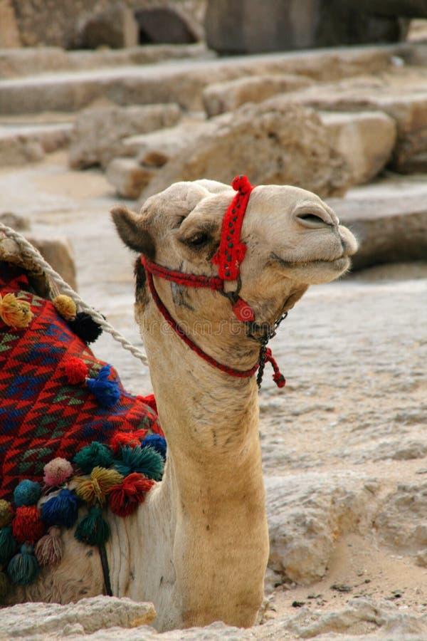 Headshot de un camello imágenes de archivo libres de regalías