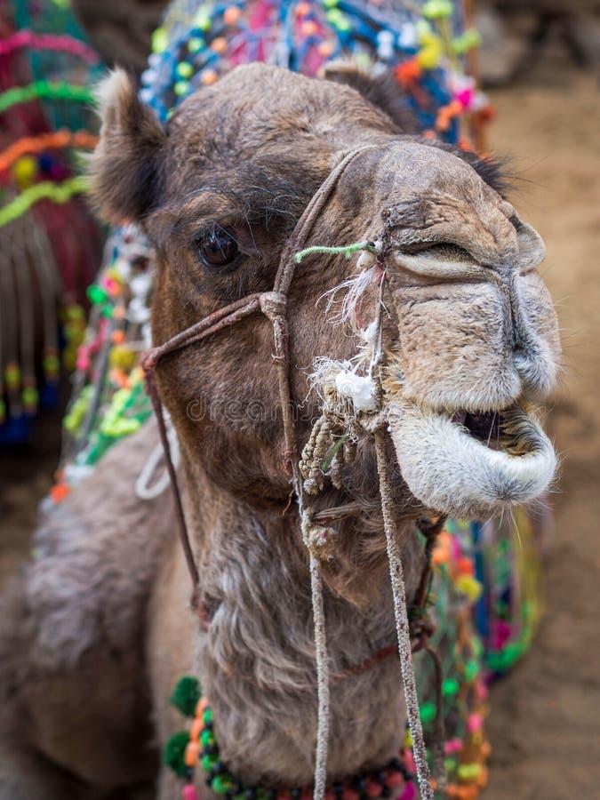 Headshot de un camello en el desierto indio fotografía de archivo libre de regalías