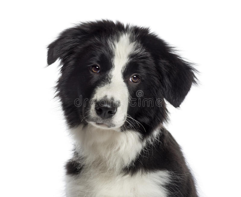 Headshot de un perrito del border collie (4 meses) imagenes de archivo