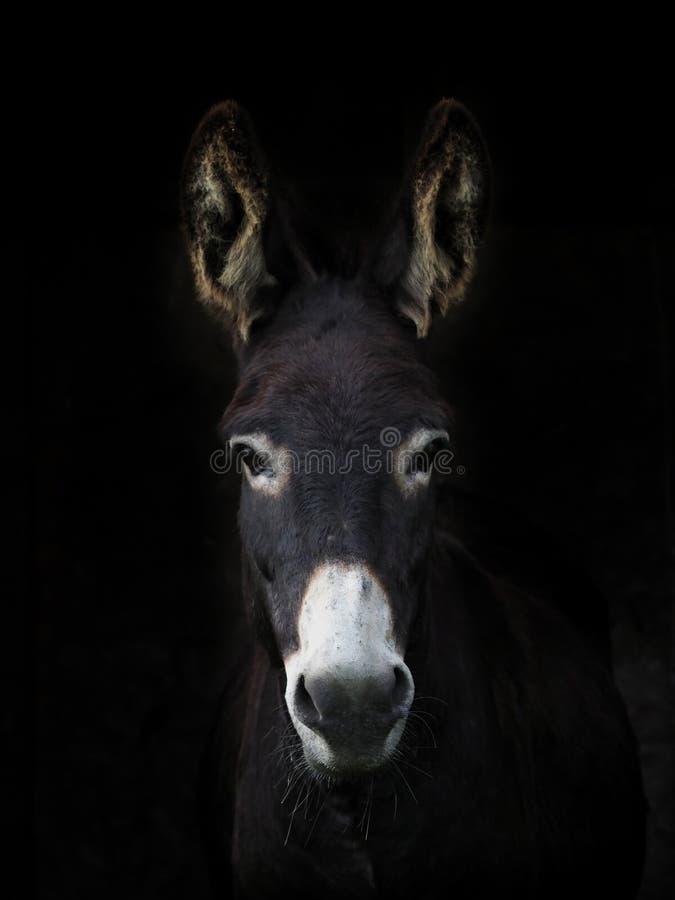 Headshot del burro imagen de archivo