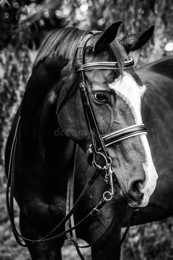 Headshot del caballo de la doma imagen de archivo libre de regalías