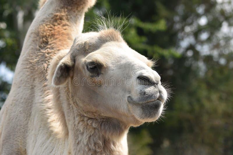 Headshot del camello foto de archivo