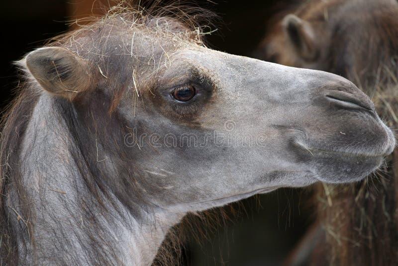 Headshot del camello. fotografía de archivo