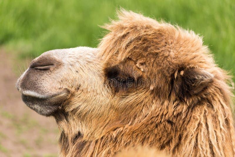 Headshot del camello bactriano fotos de archivo