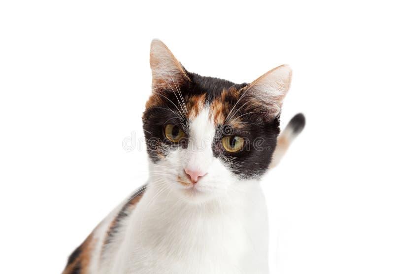 Headshot del gato de calicó hermoso fotos de archivo libres de regalías