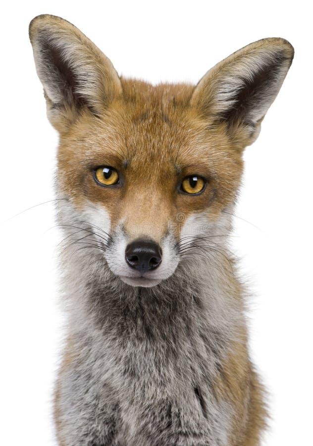 Headshot del primo piano del Fox rosso, 1 anno immagine stock libera da diritti