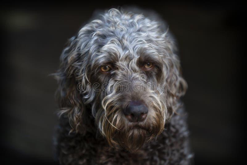 Headshot do close up de um labradoodle marrom foto de stock royalty free