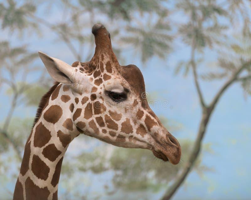 Headshot do close up do girafa fotografia de stock royalty free