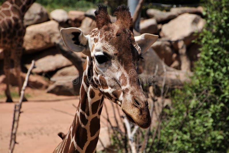 Headshot do girafa em Cheyenne Mountain Zoo fotografia de stock