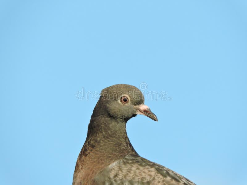 Headshot of domestic pigeon royalty free stock images