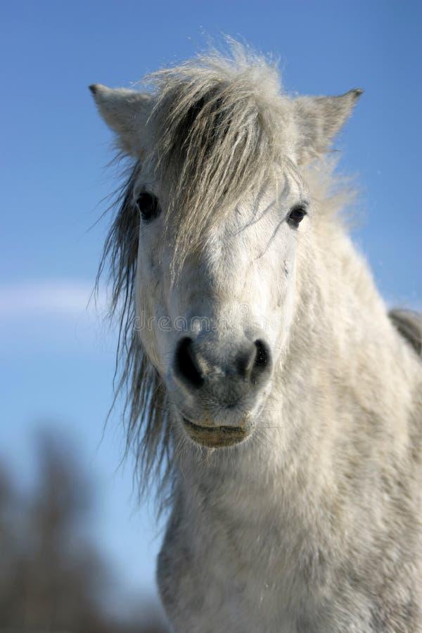 Headshot einer weißen Ponywinterzeit lizenzfreie stockfotografie