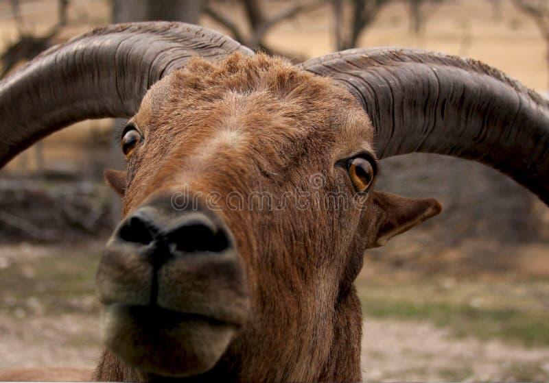 Headshot eines RAMs stockfotos
