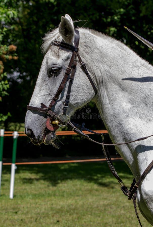 Headshot för sidosikt av en fleabitten grå häst arkivfoto
