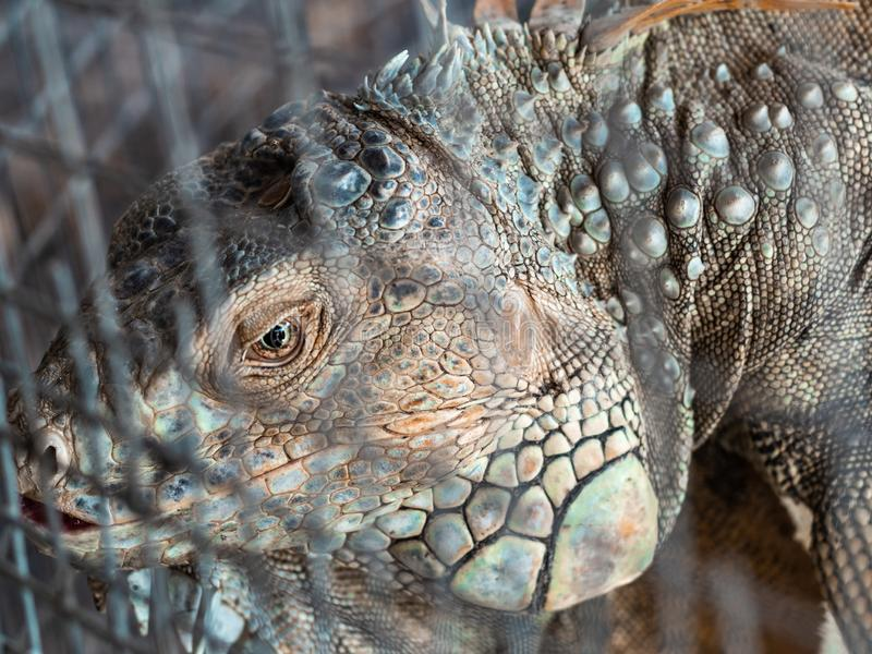 Headshot of green iguana with visible right eye. Through wire cage stock photos