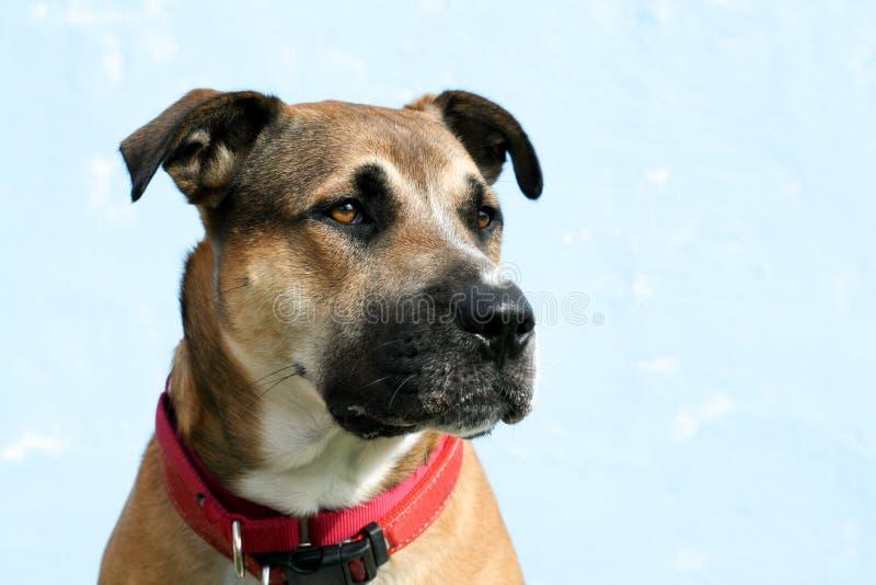 Headshot of large mixed breed dog looks right royalty free stock image