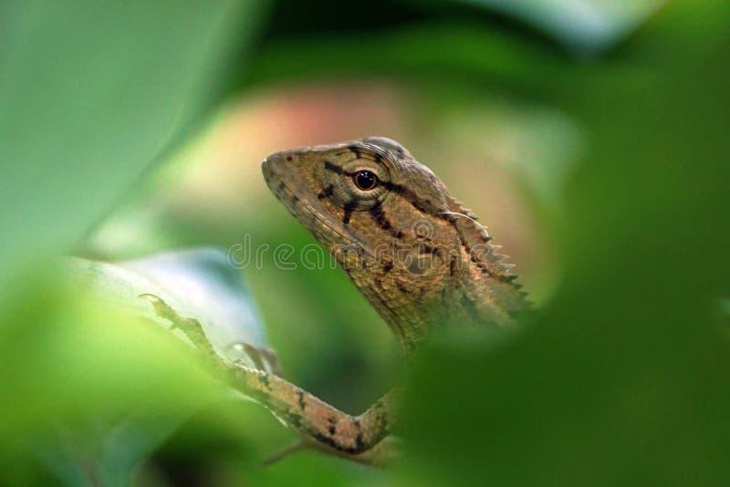 Headshot mała jaszczurka fotografia stock