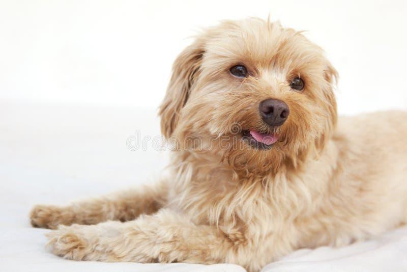 Headshot maltese del terrier immagini stock