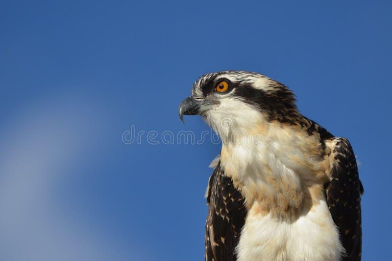 Headshot novo da águia pescadora imagem de stock