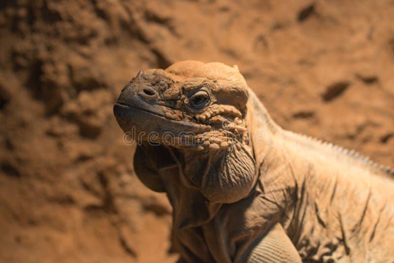 Headshot rhinocerous iguana; rockowa iguana zdjęcie royalty free