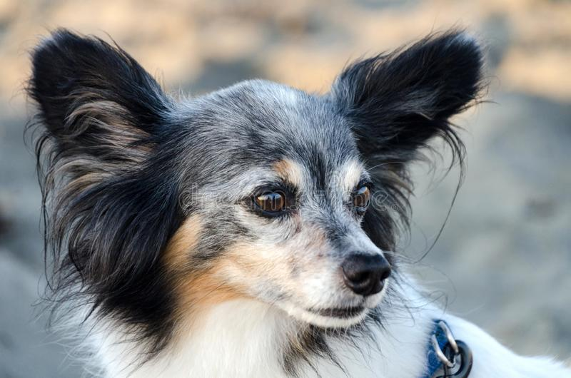 Headshot of a senior papillon male dog  sitting at a beach stock photo