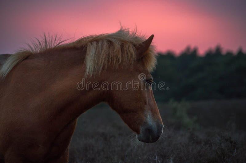 Headshot van een wild paardzonsondergang stock foto's