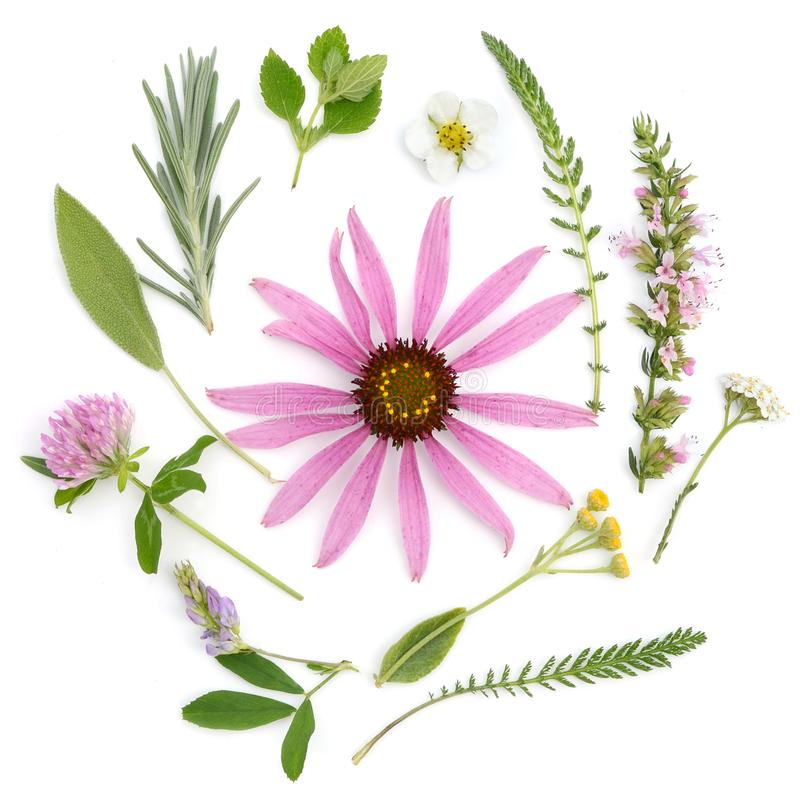 Healing herbs. Medicinal plants and flowers bouquet of echinacea, clover, yarrow, hyssop, sage, alfalfa, lavender, lemon balm stock images