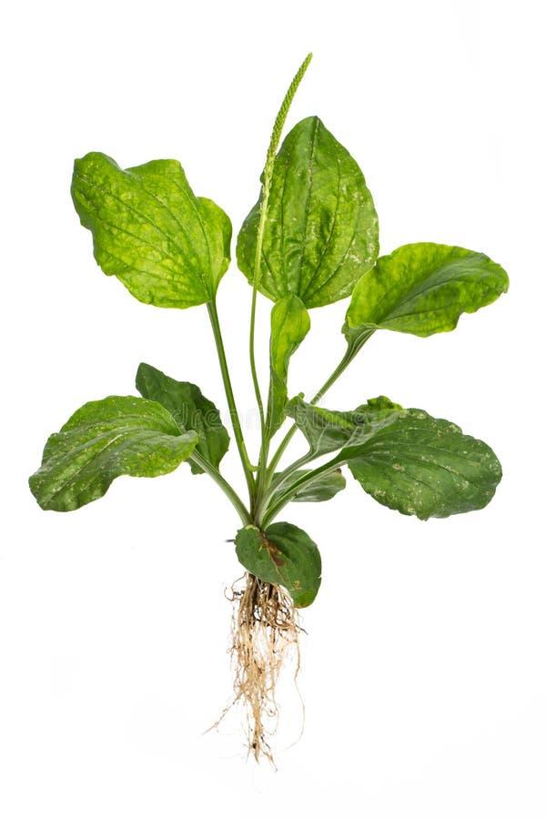 Healing plants: broadleaf plantain Plantago major L.  - whole plant on white background. Healing / Medicinal plants: broadleaf plantain Plantago major L stock photography