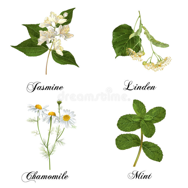 Healing plants set. Vector realistic detailed healing herbs and plants set isolated on white. Design for cosmetics, herbal tea, homeopathy, natural and organic stock illustration