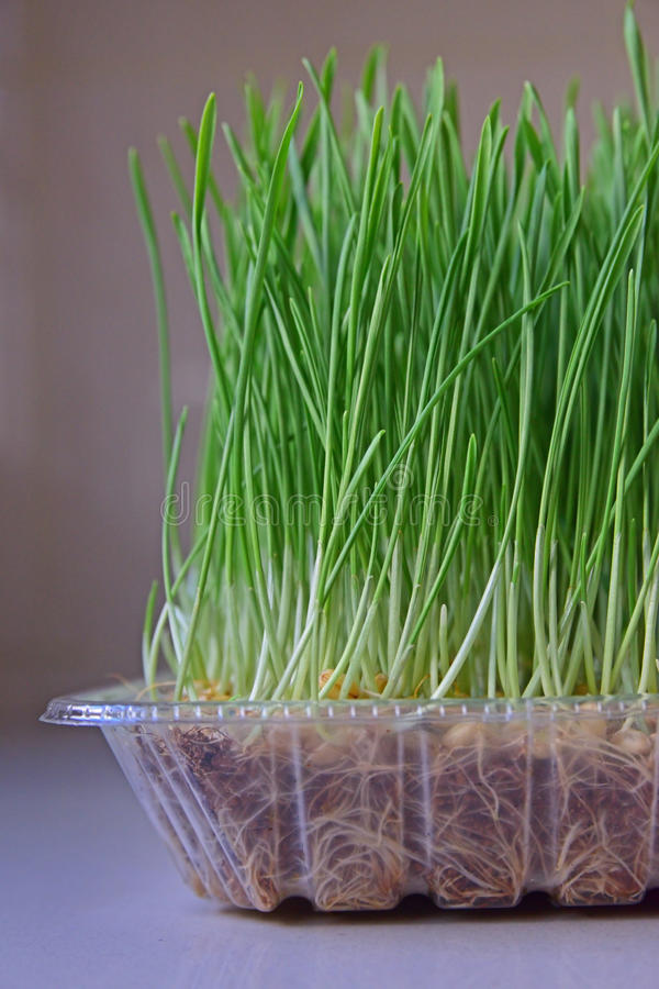 Health benefits of consuming wheatgrass. Wheatgrass is a food prepared from the cotyledons of the common wheat plant, Triticum aestivum. It is sometimes sold stock photo