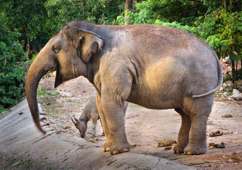 Asian female elephants amidst the zoo`s nature. royalty free stock photos