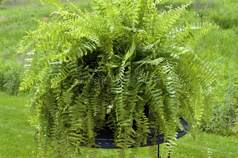 Boston Fern  822534. Healthy Boston Fern growing in planter outdoors on wrought iron table  822534  Nephrolepsis exaltata stock photos