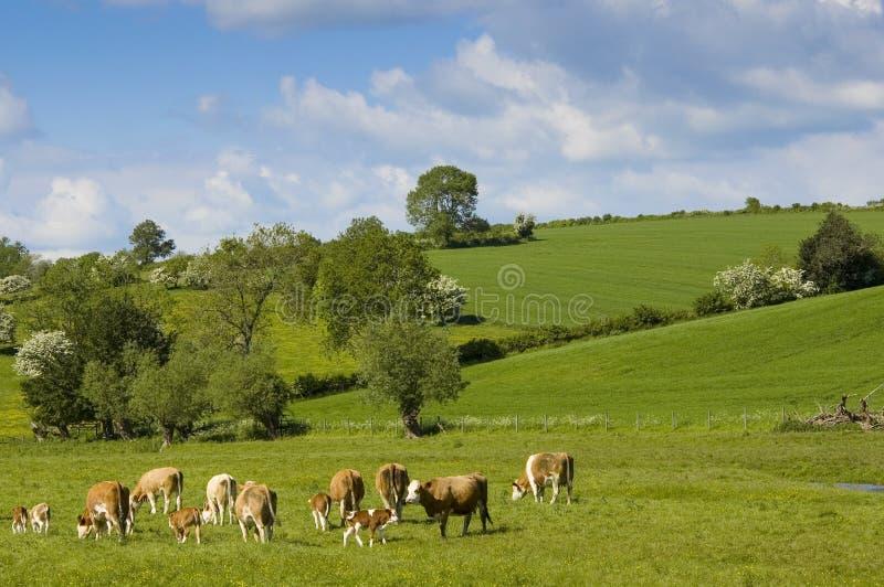 Healthy cattle livestock, Idyllic Rural, UK stock photography
