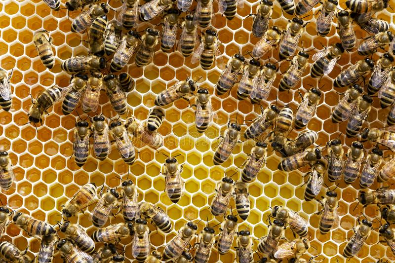 Colony of Honey Bees stock image