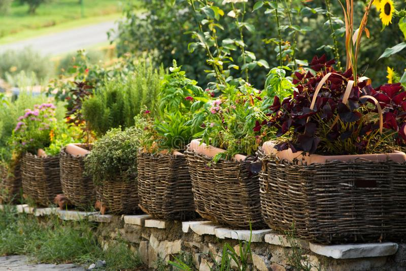 Healthy comestible herbs potted in the basket. Garden exterior design royalty free stock photos