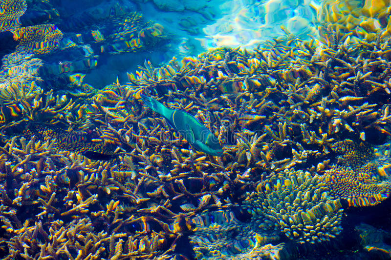 Healthy Corals and green fish in the Maldives, Laccadivian Sea royalty free stock photo