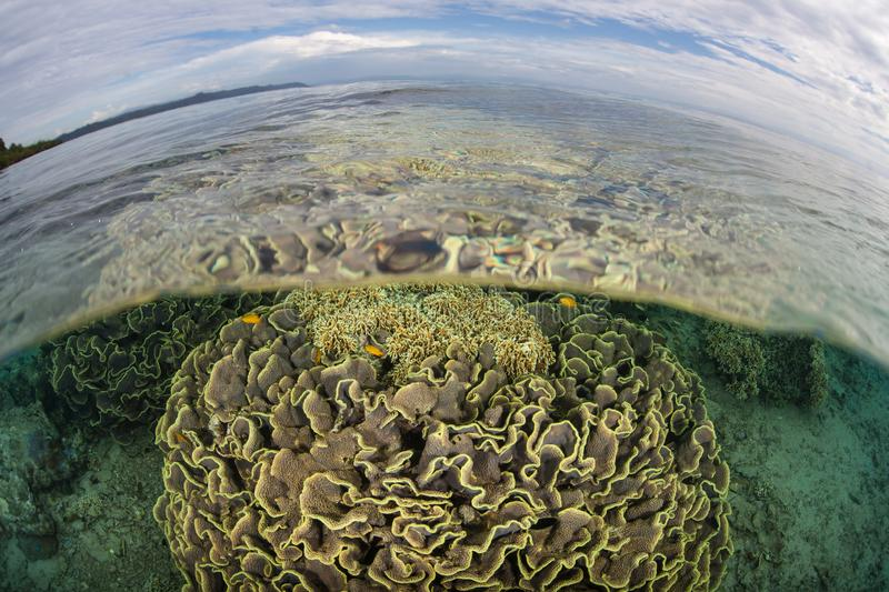 Healthy Corals Grow in Shallows Near Ambon, Indonesia. Healthy corals grow in shallow water near the island of Ambon in Indonesia. This remote, tropical area is royalty free stock photo