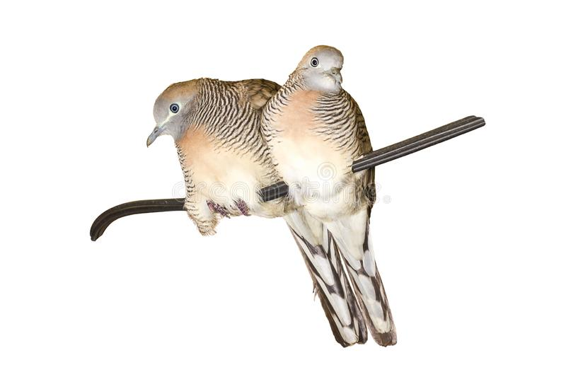 Healthy a couple of Zebra dove Geopelia striata on a wire isolated on white background with clipping path stock photo