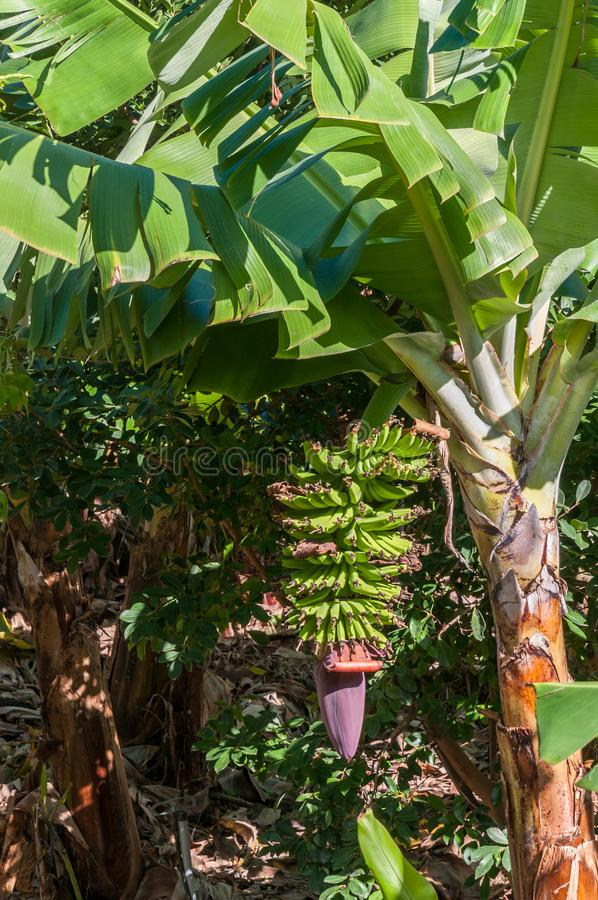A flowering banana plant with a healthy crop of bananas in a banana plantation royalty free stock photography