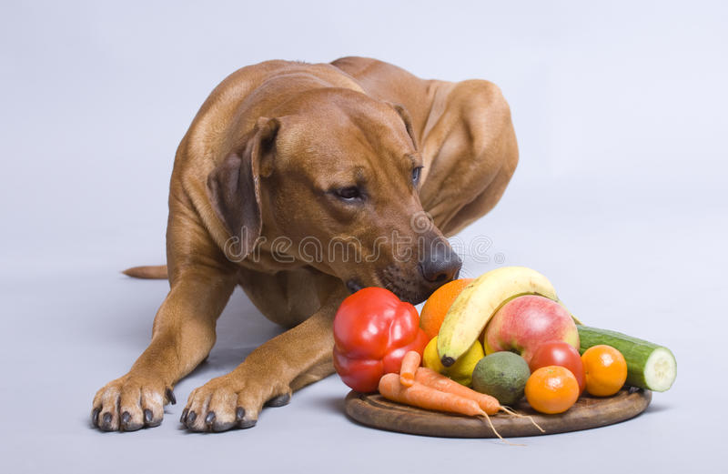 Healthy dog food. A beautiful rhodesian ridgeback dog is watching his healthy vegetarian food royalty free stock photo