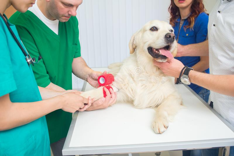 Healthy dog under medical exam stock photos