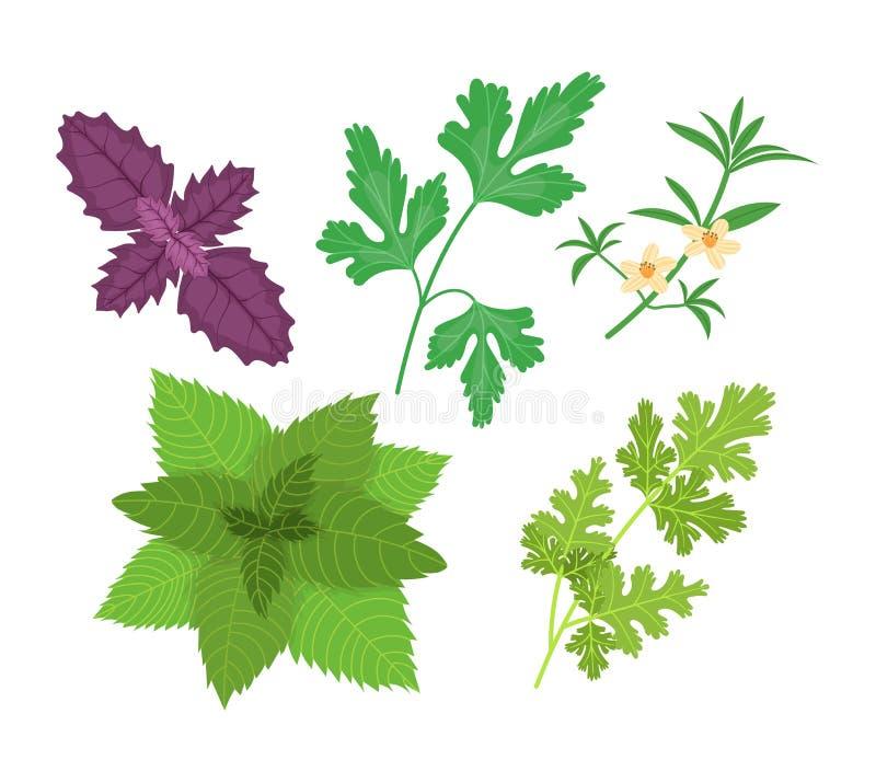 Healthy, environmentally friendly natural vegetation. Basil, parsley, savory, mint, cilantro. Basil, parsley, savory, mint, cilantro. Natural botanical set vector illustration