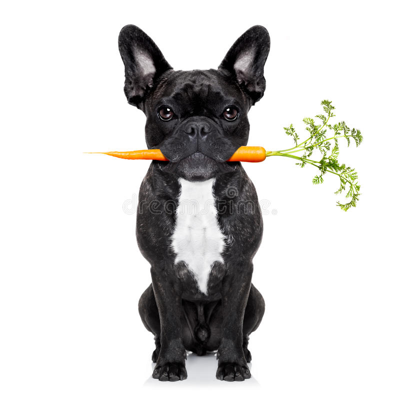 Healthy food dog. Healthy food eating french bulldog with vegan or vegetarian carrot in mouth, isolated on white background royalty free stock images