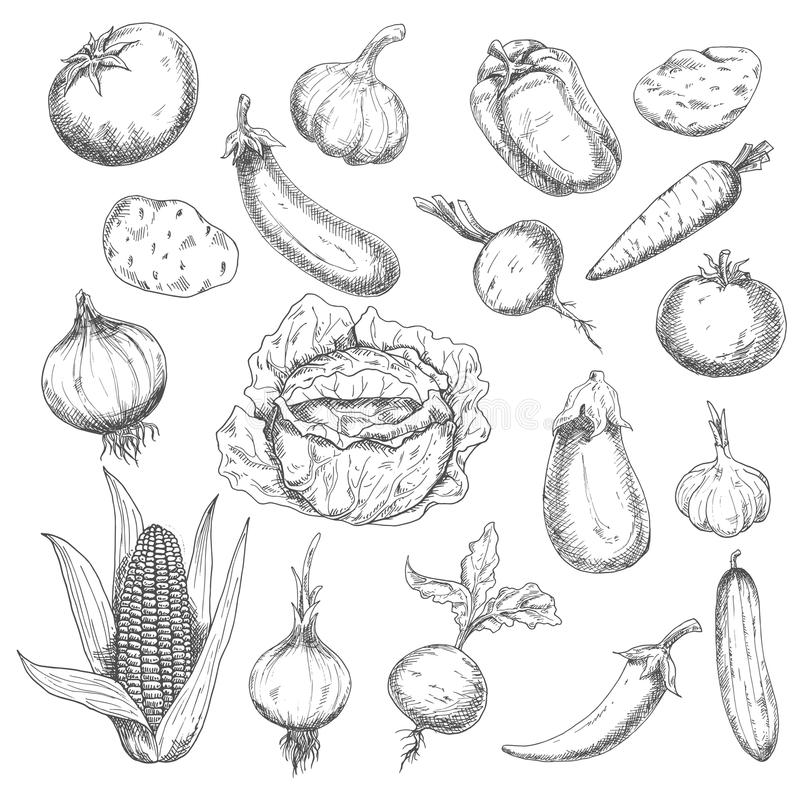Healthy food sketch design with fresh vegetables. Retro sketch of fresh eggplants, tomatoes, chili and bell peppers, onions, potatoes, heads of garlic, carrot royalty free illustration