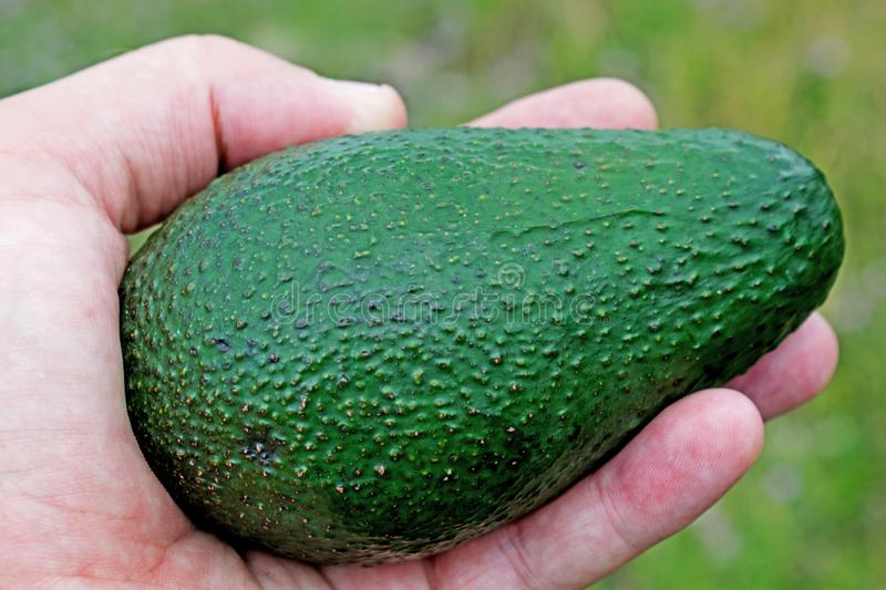 A healthy fruit to be consumed by everyone. a large fruit of avocado kept in hand.  royalty free stock images