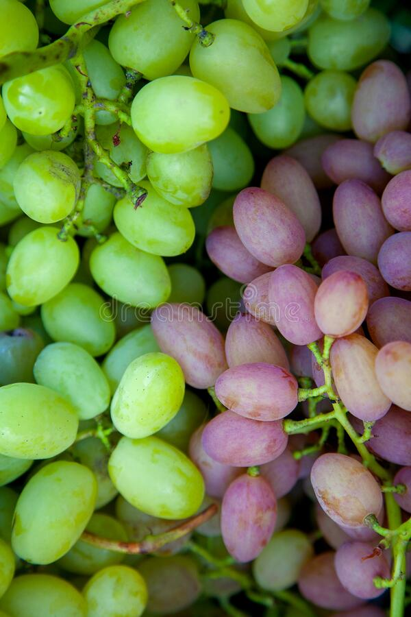 Close up view of grapes A lot of ripe grapes. The texture of the berries as a background. Winery grape variety wine production. royalty free stock photos