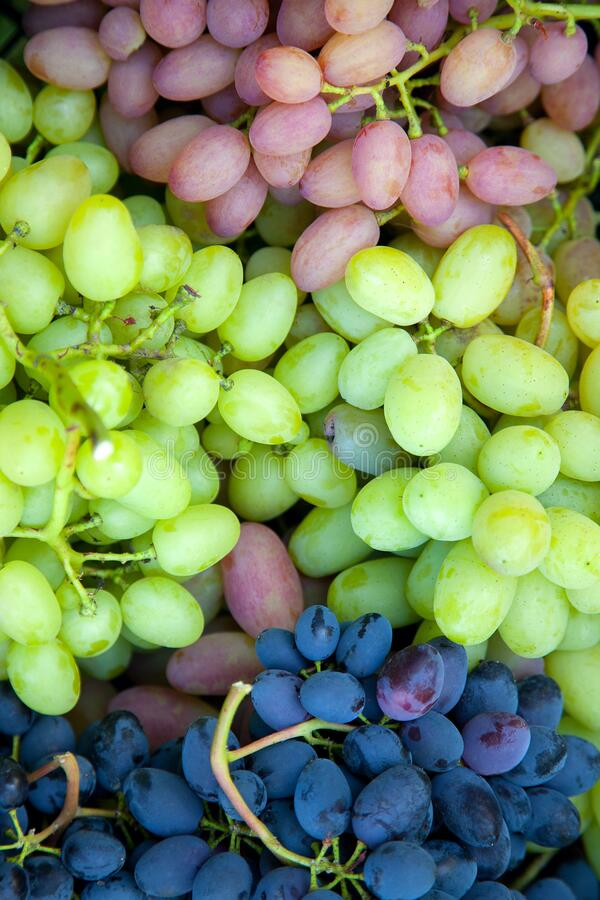 Close up view of grapes A lot of ripe grapes. The texture of the berries as a background. Winery grape variety wine production. stock images