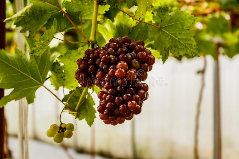 Healthy fruits Red wine grapes ripening in the vineyard royalty free stock photography
