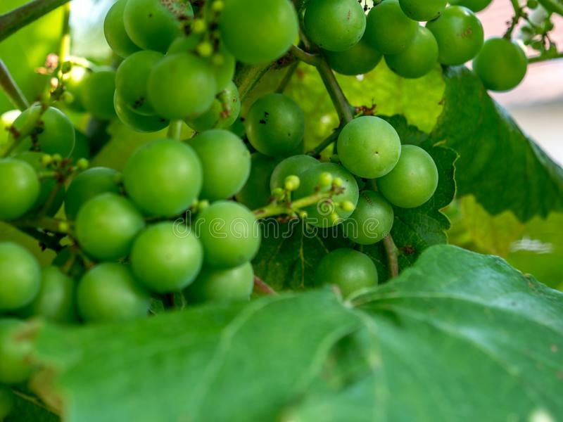 Healthy fruits. white wine grapes in a vineyard still growing royalty free stock image