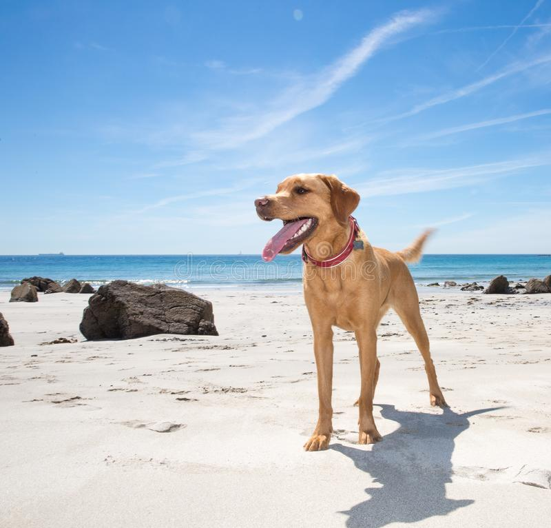 Healthy and happy Labrador retriever dog on a sandy beach royalty free stock image