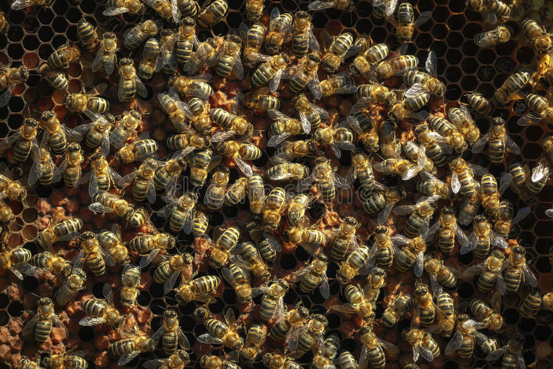 Healthy honey bees on a frame, capped larvae cells royalty free stock image